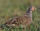 english-partridge-160x125