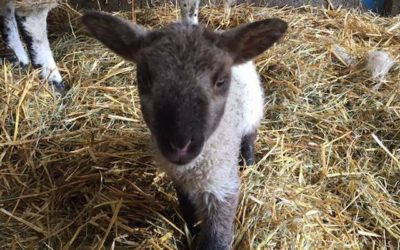 Join Us for our Easter Weekend Lambing Days