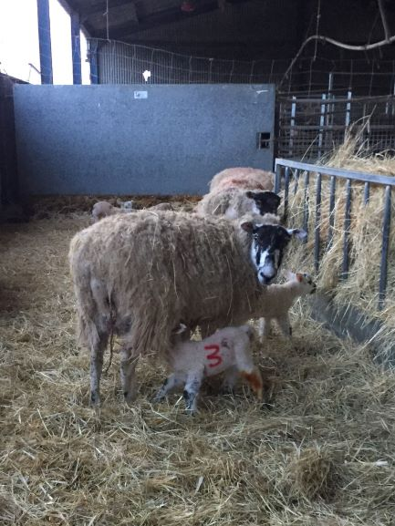 A lamb suckling from it's mother